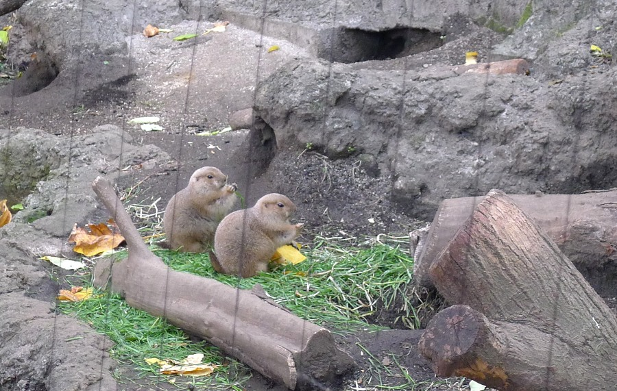 Cute prairie dogs!